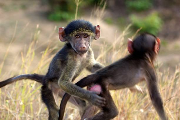 Two young Chacma baboons playing with each other stock photo