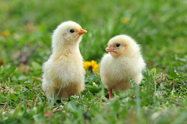 Two young chickens stock photo