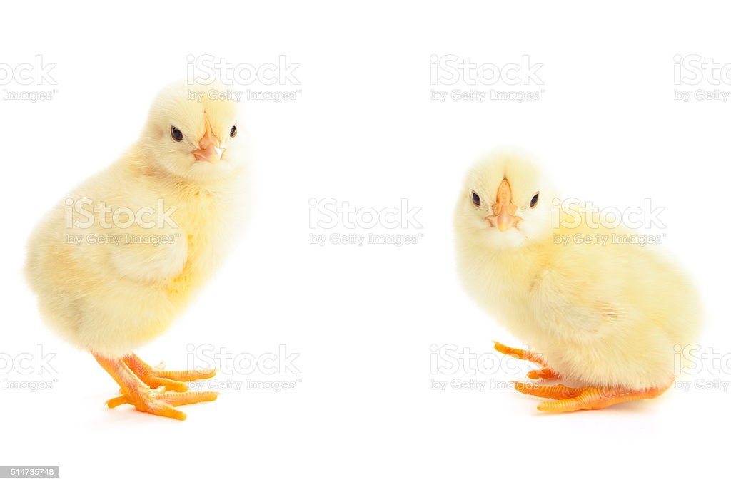 two young chicks stock photo