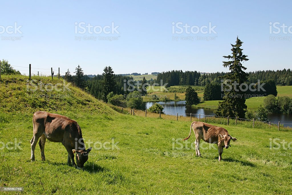 two young cows stock photo
