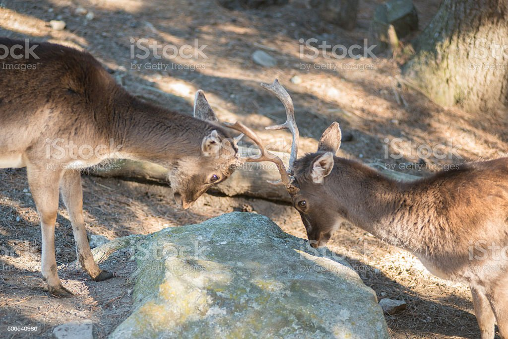 Two young deer fighting. stock photo