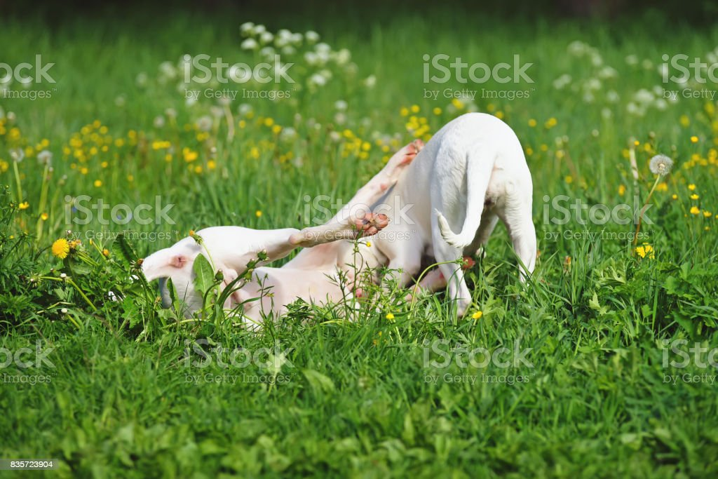 Two young Dogo Argentino dogs playing together outdoors on a green grass in spring stock photo