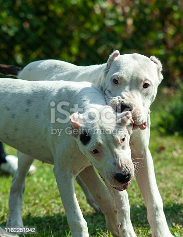 Two young Dogo Argentino dogs playing together outdoors on a green grass