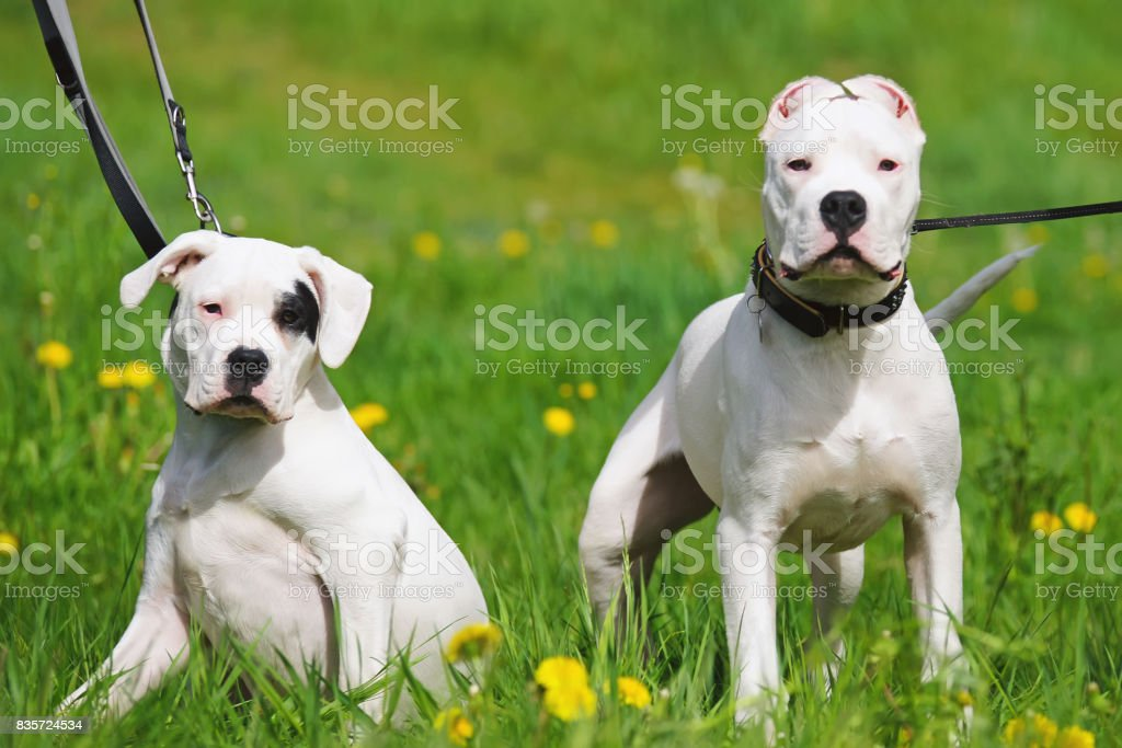 Two young Dogo Argentino dogs posing together outdoors on a green grass in spring stock photo
