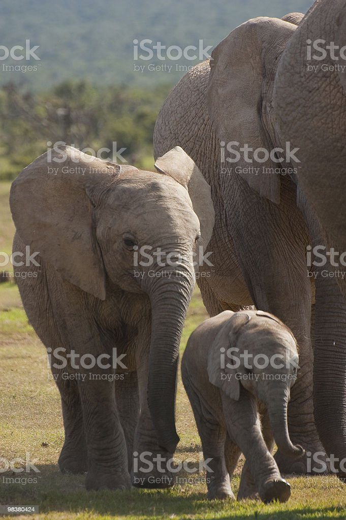 Two Young Elephants on the Move royalty-free stock photo