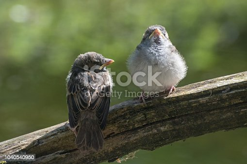 521620252 istock photo Two young fledgling house sparrows (Passer domesticus), cute baby birds on a branch against a blurry green background, copy space 1040540950