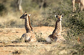 Two young Giraffes rest.