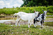 Two young goats are walking in the field along the stream.