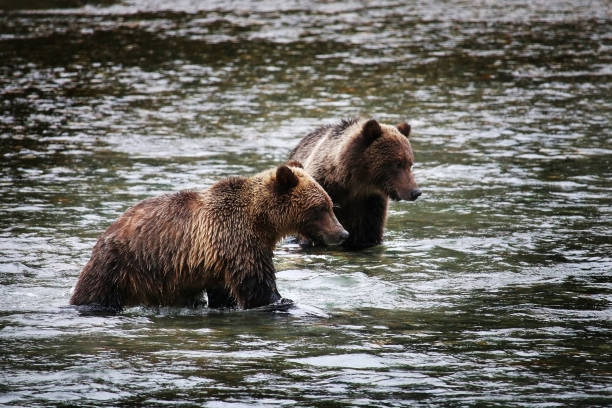 Two young Grizzly Bears hunting salmon in a river stock photo
