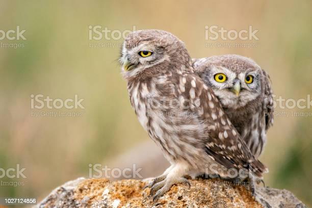 Two young little owl sitting on a stone picture id1027124856?b=1&k=6&m=1027124856&s=612x612&h=8oy3z1xgwigwkaz7 0i9sd npcsivfhygilc60khbtk=
