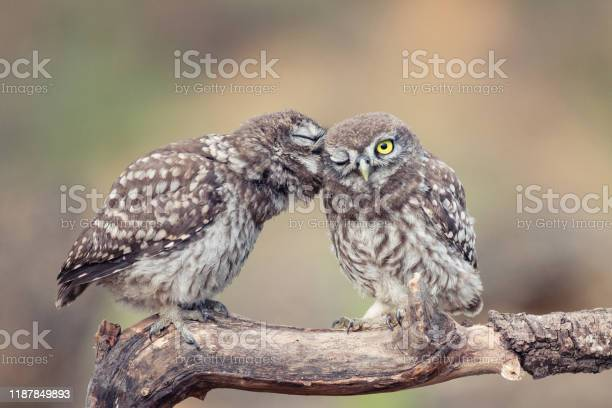 Two young little owls athene noctua sitting on a stick pressed each picture id1187849893?b=1&k=6&m=1187849893&s=612x612&h=wtuo5m9mctrkoiedyp9fy39pycd2lzjpbvxbskuhuhk=