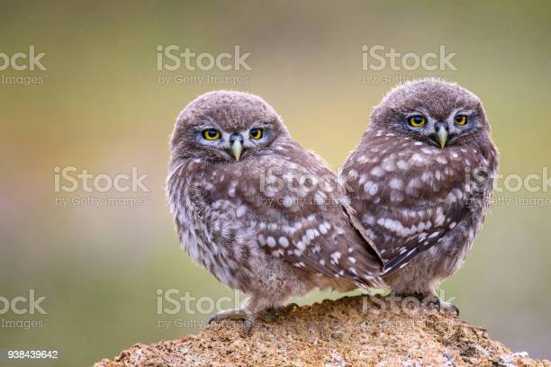 Two young little owls sitting on the stone on a beautiful background picture id938439642?b=1&k=6&m=938439642&s=612x612&h=isbo hzburpui35ltlfbn0aq8 3s0n40cy1gyf7q8ps=