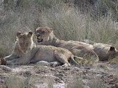 A whole Lion family in Etosha NP, Namibia.