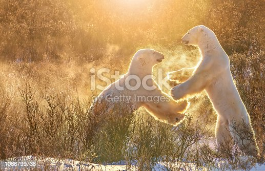 A side view of two polar bears standing on their hind legs like humans, who appear happy and playful together, and look like they are high-fiving each other with their large paws, as they are backlit by golden sunlight. They are kicking up snowflakes around them.