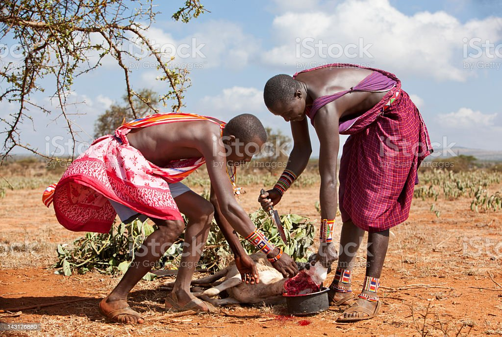 Two young masai slaughtering a goat. royalty-free stock photo