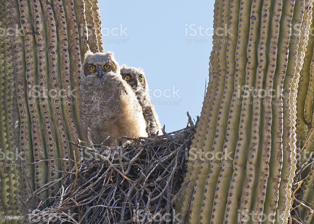 Two young owls in their nest stock photo