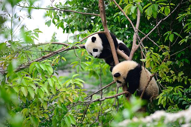deux jeunes pandas jouant sur l'arbre - panda photos et images de collection