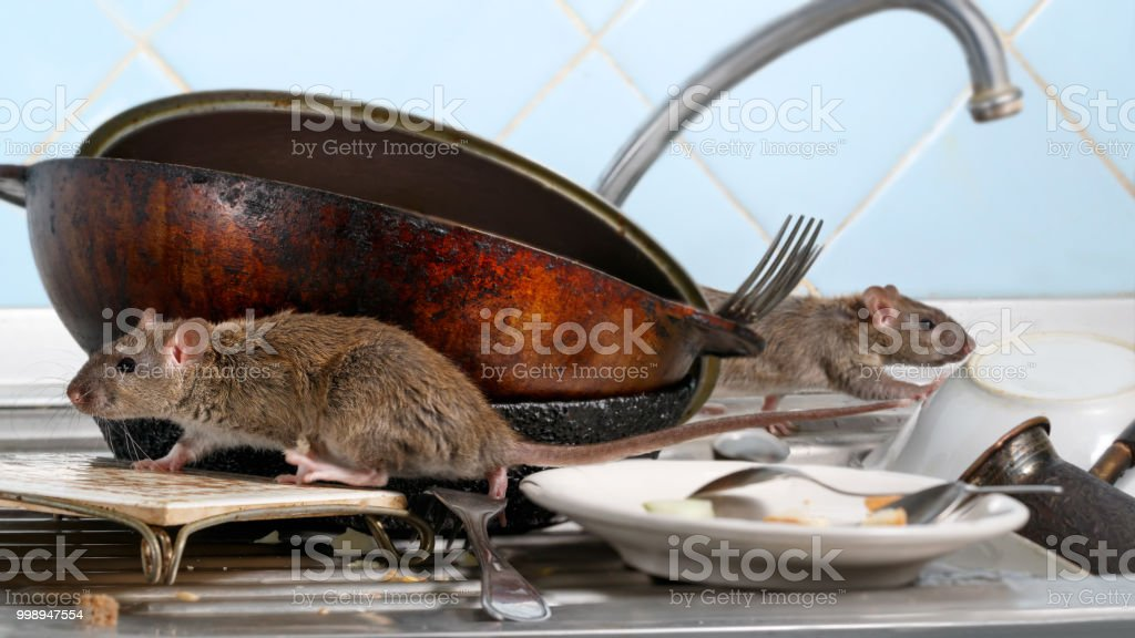 Two young rat (Rattus norvegicus) climbs on dirty dishes in the kitchen sink. two old pans and crockery. small DoF focus put only to one rat stock photo