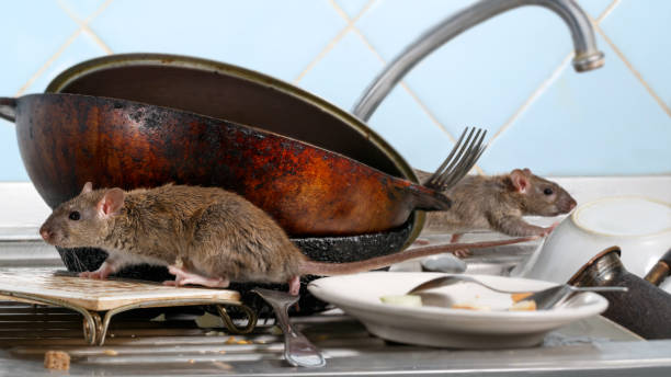Two young rat (Rattus norvegicus) climbs on dirty dishes in the kitchen sink. two old pans and crockery. small DoF focus put only to one rat Two young rat (Rattus norvegicus) climbs on dirty dishes in the kitchen sink. two old pans and crockery. small DoF focus put only to one rat rodent stock pictures, royalty-free photos & images