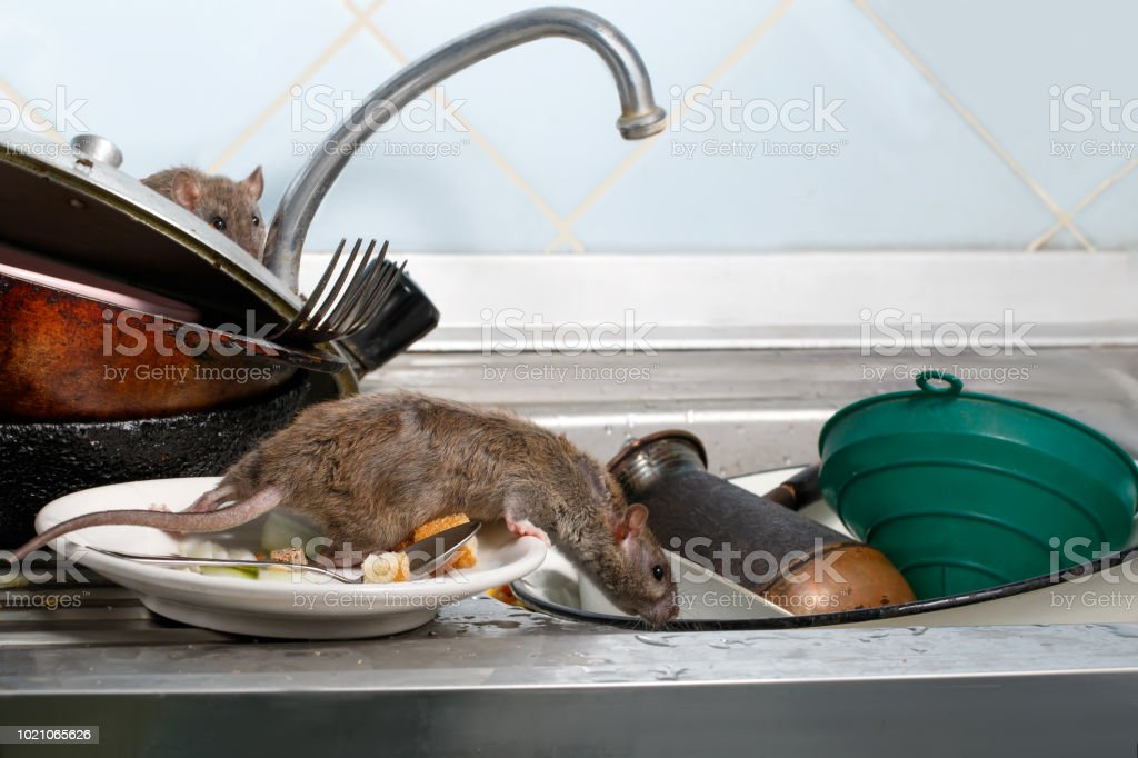 Two young rats on the sink with dirty crockery at the kitchen. stock photo
