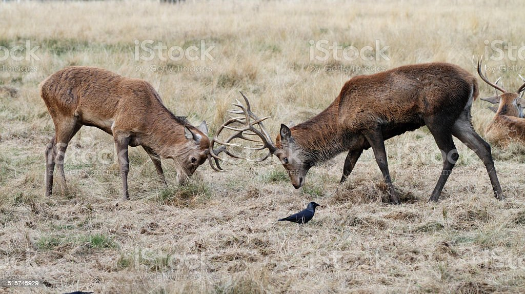 Bachelor red deer stags Cervus elaphus matching antlers stock photo