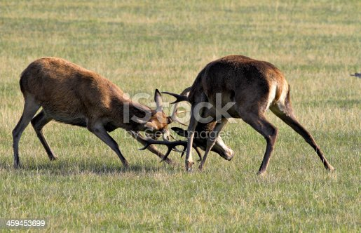 465666157 istock photo Tussle between two young red deer stags Cervus elaphus 459453699