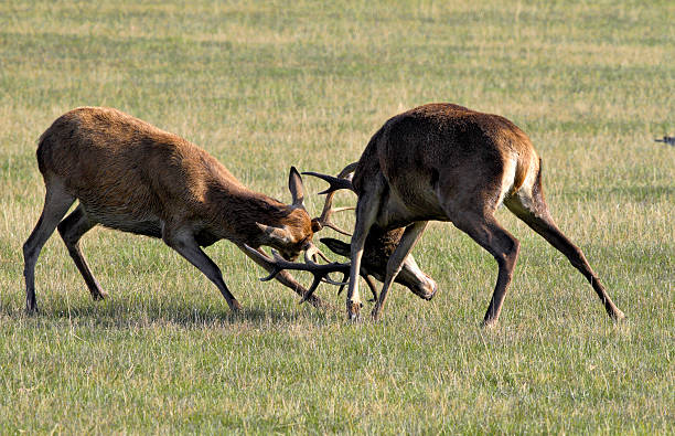 tussle between two young red deer stags cervus elaphus - whiteway deer stock photos and pictures