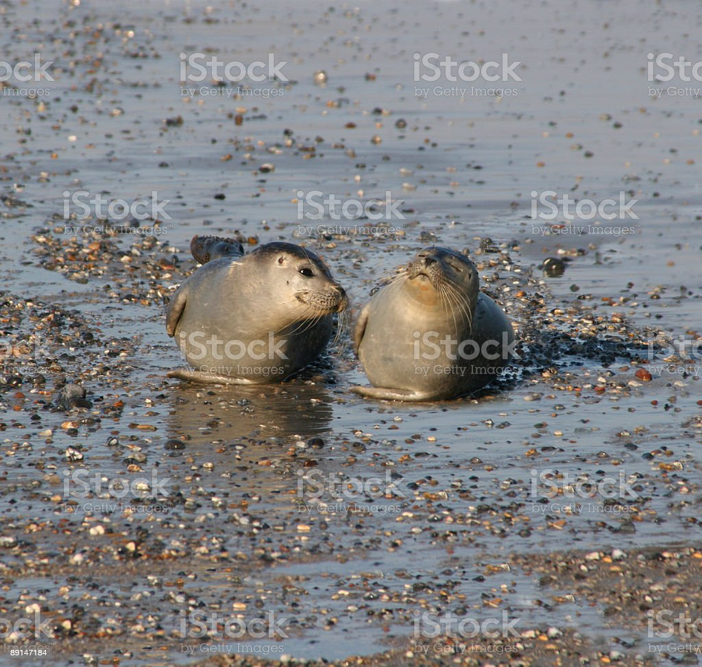 Zwei junge Seehunde auf Helgoland / two young seals in Germany stock photo