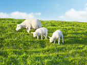 Two young sheeps grazing with mother on a idyllic green meadow in spring