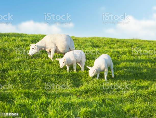 Two young sheeps grazing with mother on a idyllic green meadow in picture id1128952629?b=1&k=6&m=1128952629&s=612x612&h=9xspefbkk2xipu  lyyb3iwg r46dqymy yaaxzmp k=