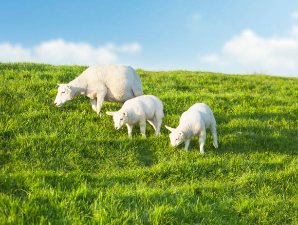 Two young sheeps grazing with mother on a idyllic green meadow in spring Two young sheeps grazing with mother on a idyllic green meadow in spring lamb animal stock pictures, royalty-free photos & images