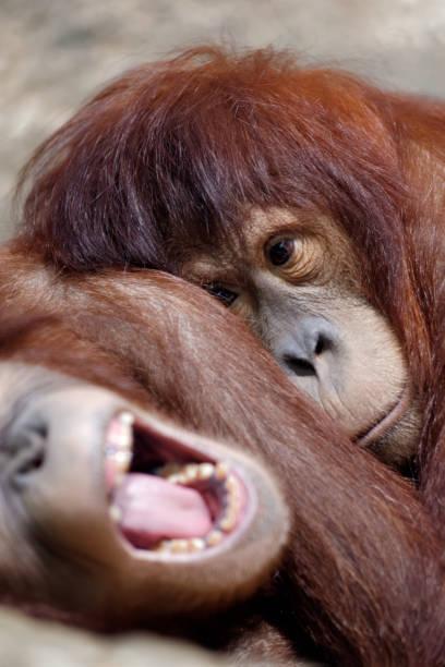 Two young sleepy orangutan stock photo