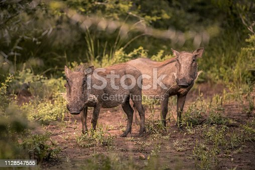 Two young warthogs stand in a clearing in Umkhuze Game Reserve, Isimangaliso Wetland Park, South Africa