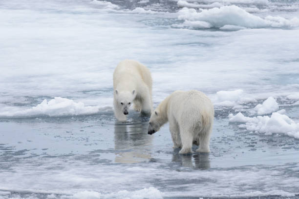 Two young wild polar bears playing on pack ice in Arctic sea, north of Svalbard stock photo