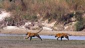 Panthera tigris Bardia National Park, Teraï, Nepal