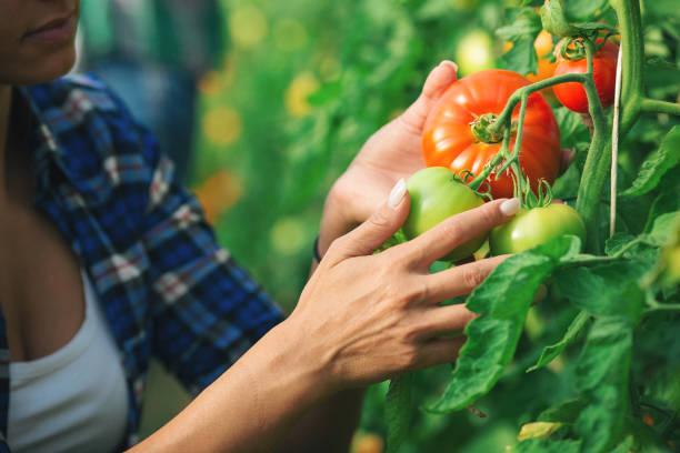 Zwei junge Frauen arbeiten im Gewächshaus mit Tomate – Foto
