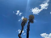 two yucca periculosa over clouds and blue sky