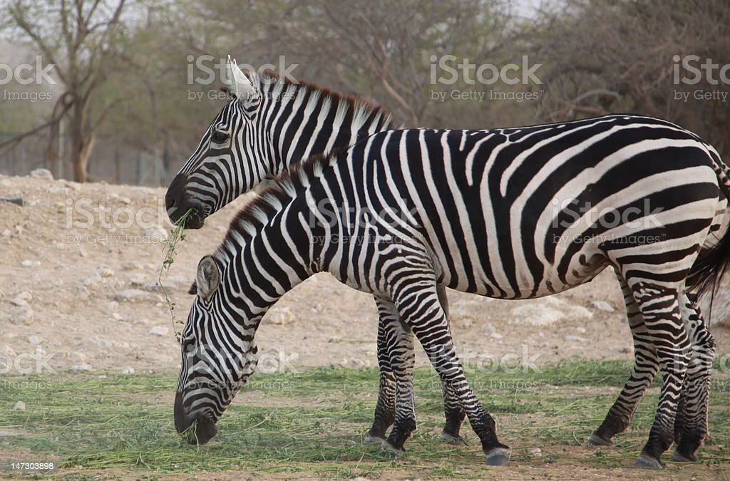 Two zebra eating grass royalty-free stock photo
