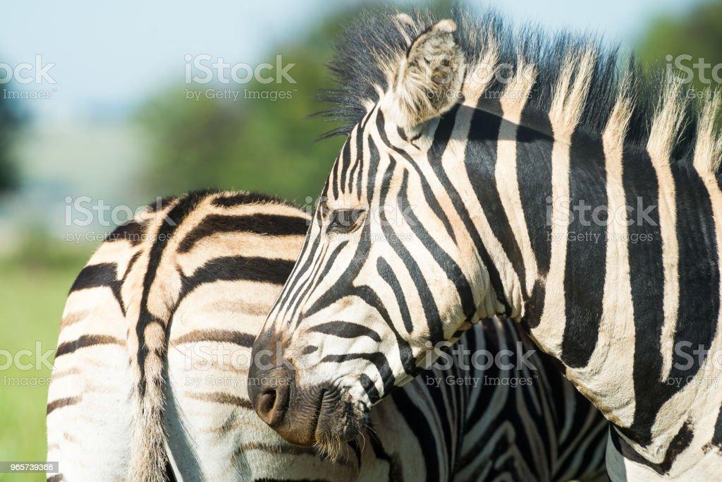 Close-up van twee Zebra 's - Royalty-free Dierenkop Stockfoto