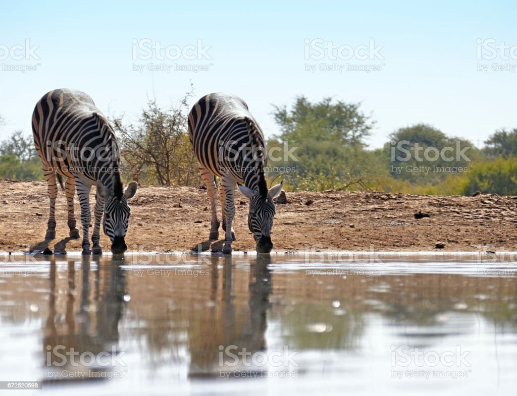 Two zebras drinking at the waterhole  in the Madikwe Game Reserve in South Africa stock photo