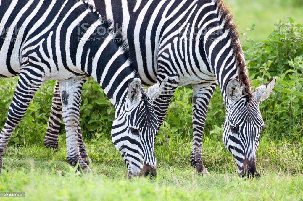 Two zebras eating stock photo