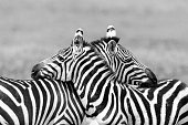 Close-up of two Zebras, Tanzania. Black and white.