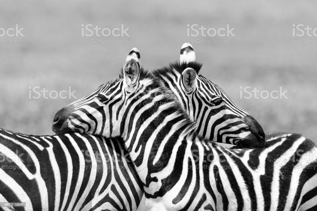 Two Zebras embracing in Africa stock photo