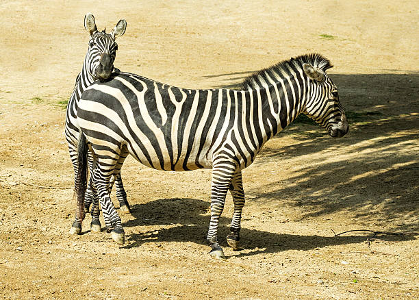 Zebras mating - photo#55