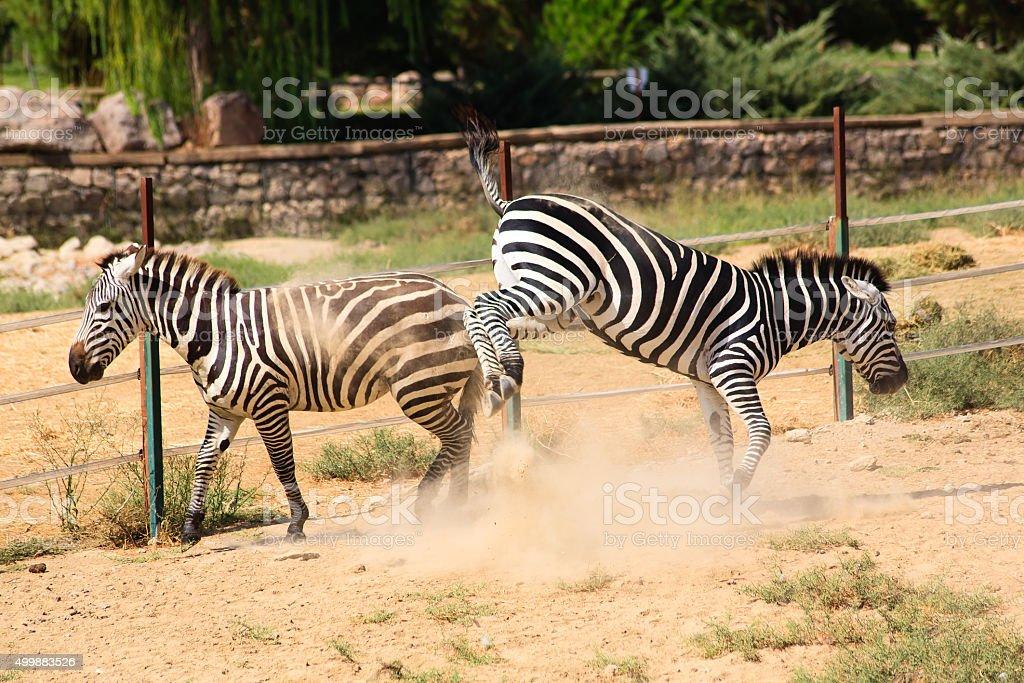 Two zebras stock photo