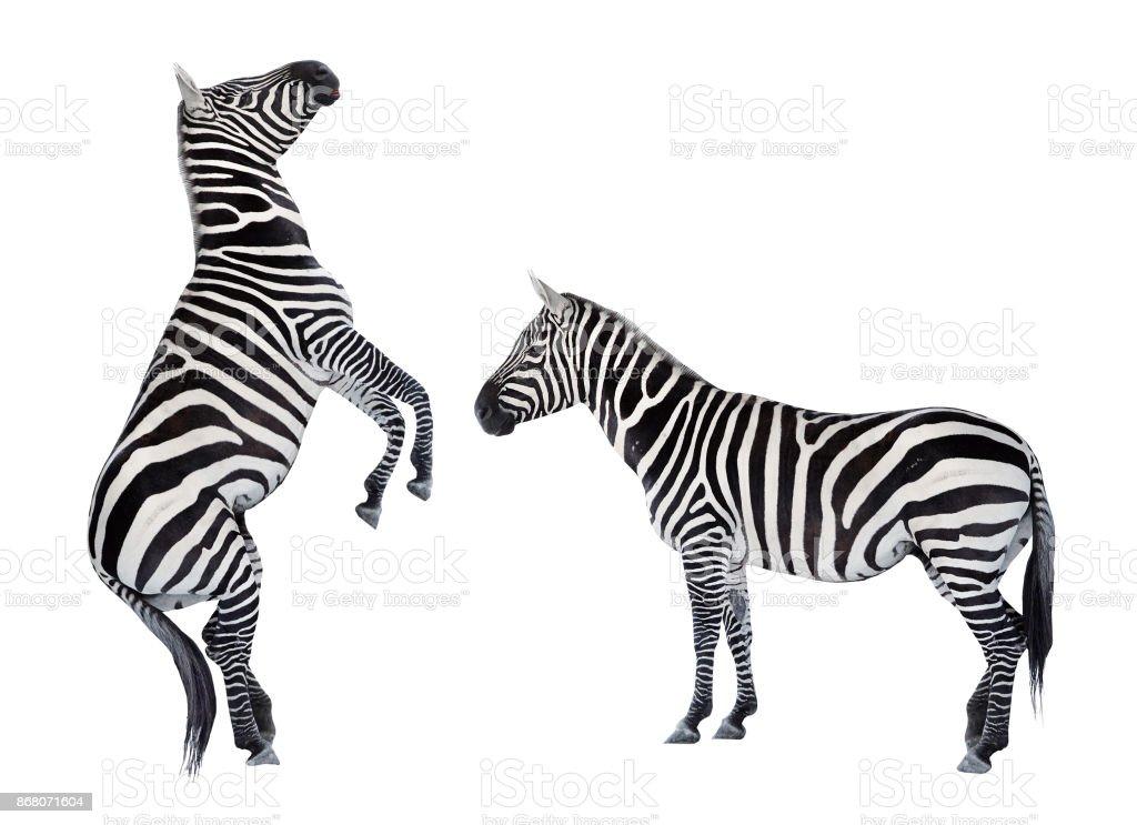 Zwei Zebras spielen auf weißem Hintergrund. – Foto