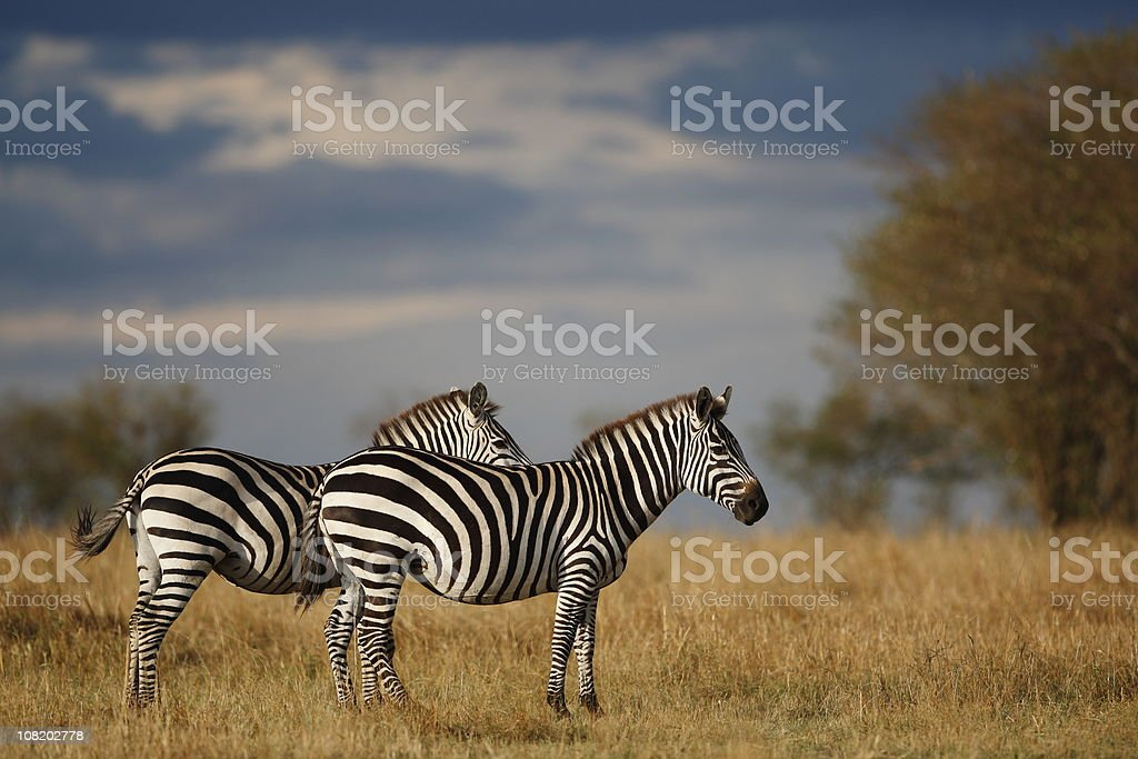 Two Zebras Standing in African Plain Reserve royalty-free stock photo