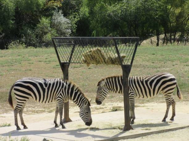 Two zebras standing stock photo