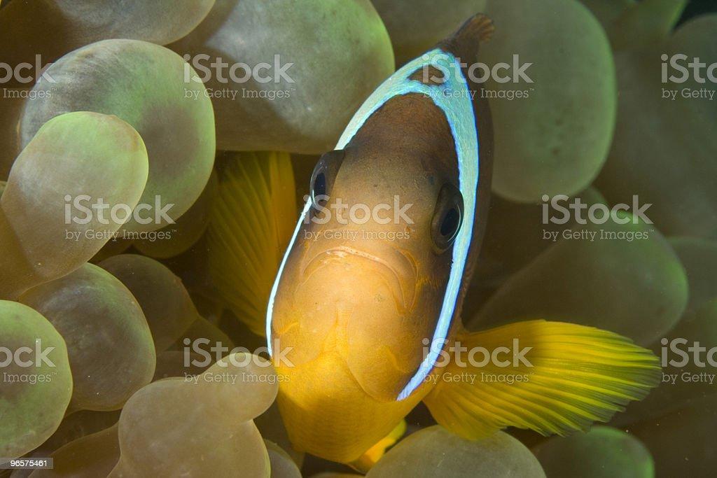 Twoband Anemonefish - Royalty-free Anemoonvis Stockfoto