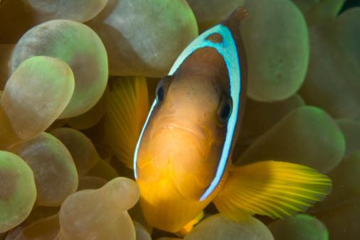 Twoband Anemonefish Stockfoto en meer beelden van Anemoonvis